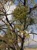 Viscum album on Prunus amygdalus (near Akalan, southern side of Spil Dağı)