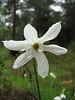 Narcissus serotinus (Along road between Gökova and Marmaris, just northeast of Cetibeli Geçidi at about 150m altitude, margin of Pinus brutia woodland)