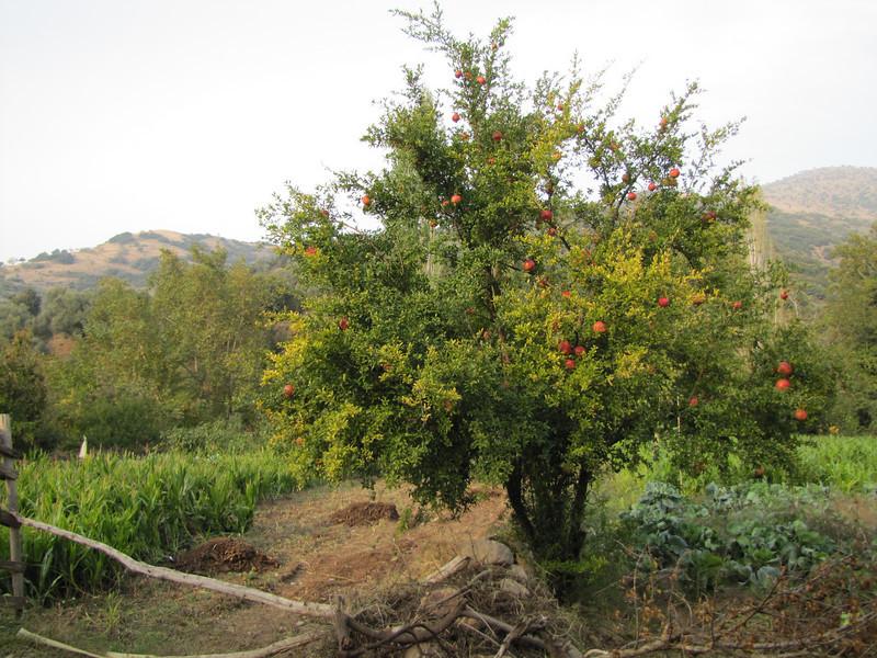 Punica granatum (a valley in the Aydin Dağlari, along road south of Ödemis)