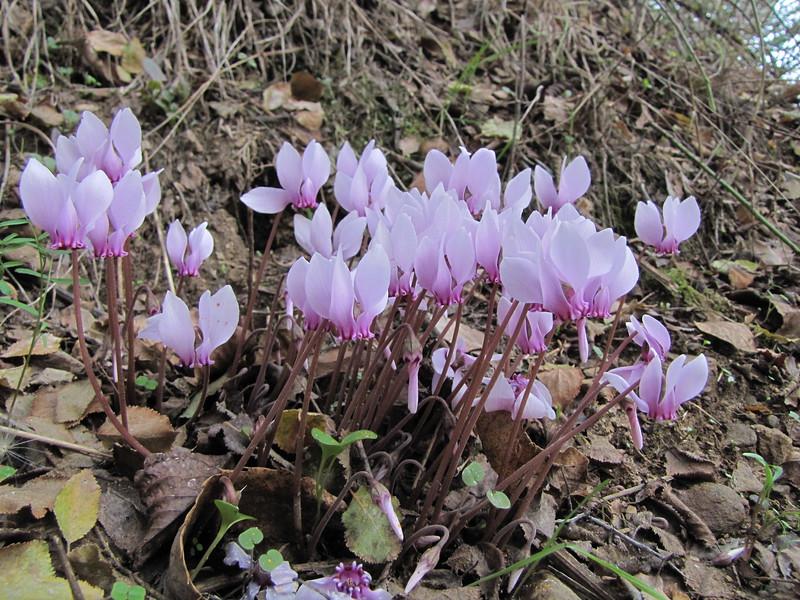 Cyclamen hederifolium ssp. hederifolium (Aydin Dağlari, along road between Ödemis and Kosk)