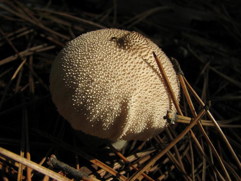 Lycoperdon perlatum (NL: parelstuifzwam) (Between Bursa and Uladag, about 1000m altitude)