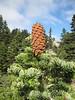 pinecone of Abies bornmuelleriana, Uludag fir (on granite, 1750m altitude, Uludag)