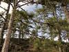 Viscum album on Pinus nigra ssp. pallasiana (Above Buldan, Süleymani Köyü Kamp Yeri, 1200m, near lake)
