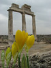 Sternbergia lutea at Hierapolis (Pamukkale)
