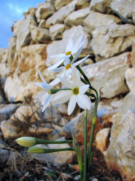 Narcissus serotinus (near Taslica)