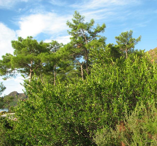 Myrtus communis (Just past junction to Bozborun on the Marmaris - Datça road, 85m altitude on serpentine)