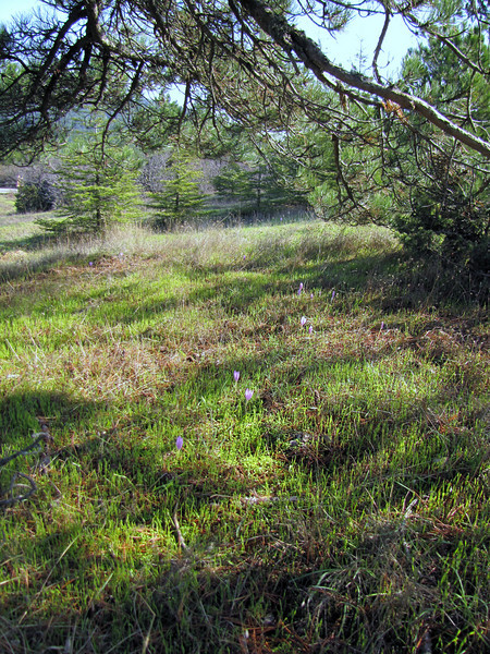 Colchicum boissieri (near entrance of Spil Dağı Milli Parki, at about 1000m altitude)