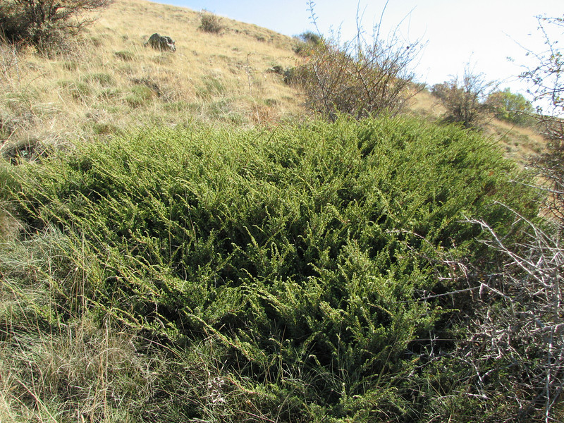 Juniperus communis? (east of Bozdağ, road up in the mountains, from a pass on foot to 1770m, Bozdağlar)