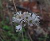 Allium callimischon ssp. haemostictum (Along road between Gökova and Marmaris, just northeast of Cetibeli Geçidi at about 150m altitude, margin of Pinus brutia woodland)