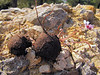 tuber of Cyclamen hederifolium ssp. hederifolium (only for determination purpose)(along road from Manisa to Akalan, about 500m altitude, Spil Dağı)