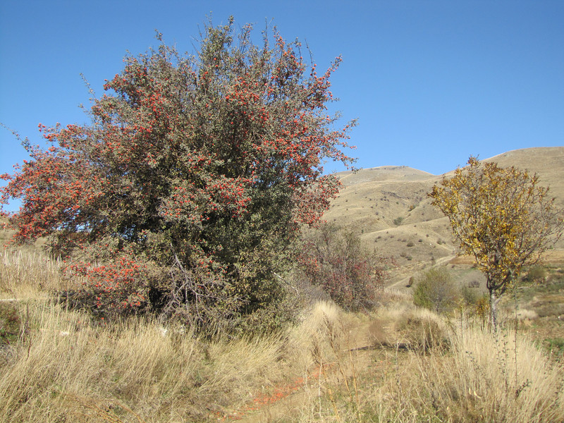 Crataegus spec. in fruit (east of Bozdağ, road up in the mountains, from a pass on foot to 1770m, Bozdağlar)