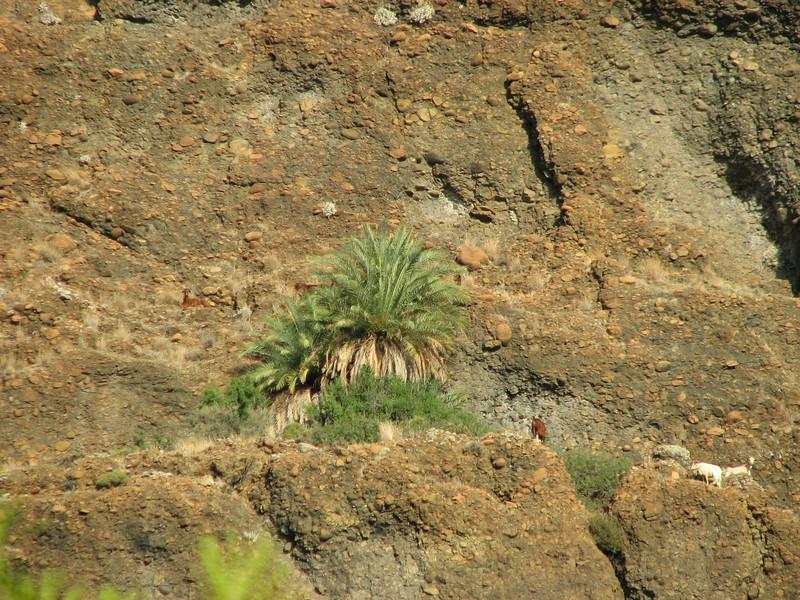 Phoenix theophrasti (A few km past junction to Bozborun on the Marmaris - Datça road, about 200m altitude on serpentine)