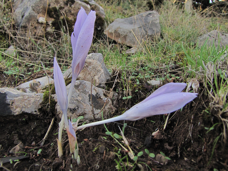 Crocus pallasii ssp. pallasii (along road from Manisa on Spil Dağı, at about 1000m altitude)