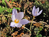 Crocus pulchellus in deciduous woodland of Quercus spec. (Between Bursa and Uludag, 900m altitude)