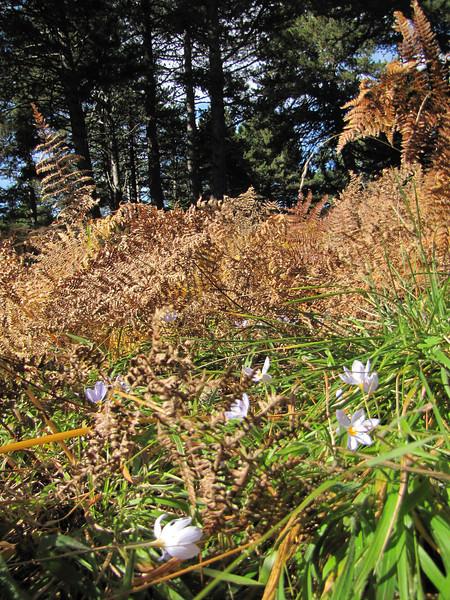 Crocus pulchellus in deciduous woodland of Quercus spec. (Between Bursa and Uludag, 1000m altitude)