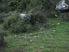 Colchicum balansae (2 km on Bozburun junction from Marmaris - Datça road, limestone, 15m altitude)
