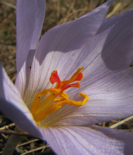 Crocus pallasii ssp. pallasii (east of Bozdağ, road up in the mountains, from a pass on foot to 1770m, Bozdağlar)