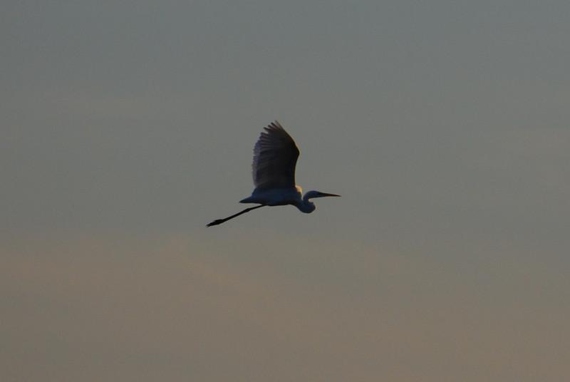 Egretta alba (NL: grote zilverreiger)(west of Turburgazi, southern coast of Dilek Peninsula)