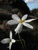 Narcissus serotinus (A few km past junction to Bozborun on the Marmaris - Datça road, about 200m altitude on serpentine)
