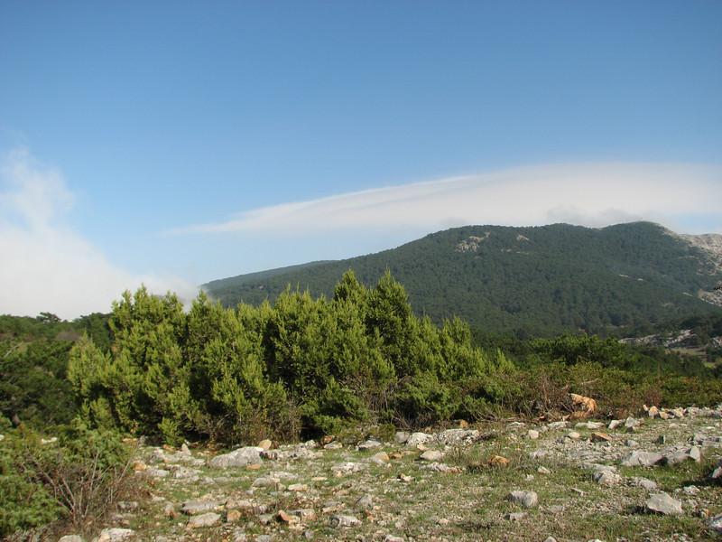 Juniperus excelsa (near entrance of Spil Dağı Milli Parki, at about 1000m altitude)