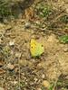 Colias croceus (NL: Oranje Luzernevlinder) (road south of Ödemis, Aydin Dağlari)