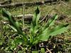 Drimia undulata (North of Milas)