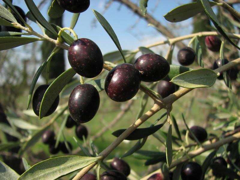 fruit of Olea europaea on a graveyard (near Akalan, just south of Spil Dağı)