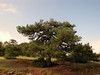 Pinus nigra ssp. pallasiana (near entrance of Spil Dağı Milli Parki, at about 1000m altitude)