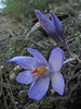 Crocus pallasii ssp. pallasii (3km NE of Labranda on micaschist, 700m)