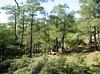 Pinus brutia woodland (North of Milas)