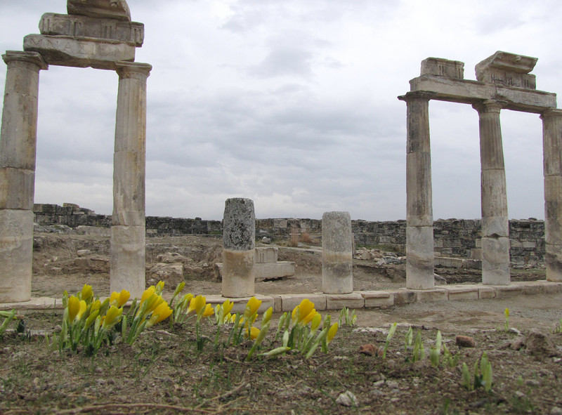 Sternbergia lutea (cultivated) at archaeological site Hierapolis (Pamukkale)