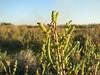 Arthrocnemum glaucum (west of Turburgazi, southern coast of Dilek Peninsula)