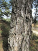 Pinus nigra ssp. pallasiana (Above Buldan, Süleymani Köyü Kamp Yeri, 1200m, near lake)