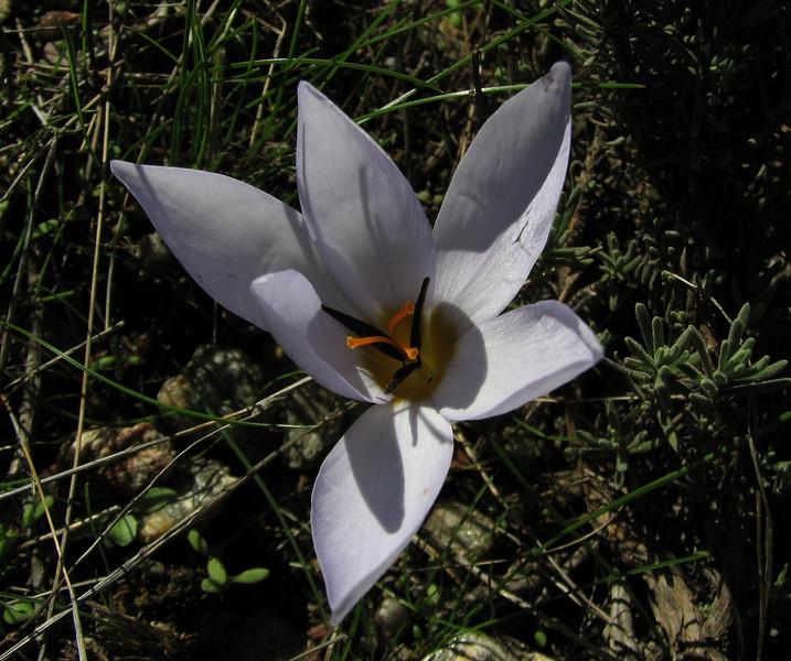 Crocus nerimaniae on micaschist (North of Milas)