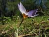 Crocus nerimaniae (North of Milas)