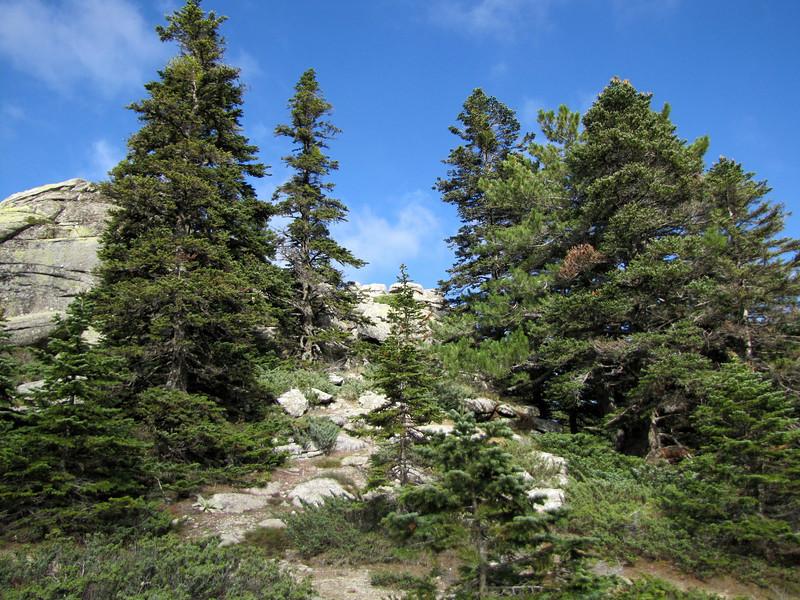 Abies bornmuelleriana, Uludag fir (on granite, 1750m altitude, Uludag)