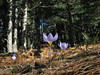 habitat of Crocus pulchellus in deciduous woodland of Quercus spec. (Between Bursa and Uludag, 900m altitude)