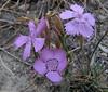 Dianthus elegans , Hierapolis (Pamukkale)