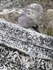Streptopelia decaocto (NL: Turkse tortel) Hierapolis (Pamukkale)