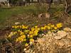 Sternbergia lutea on a graveyard (near Akalan, just south of Spil Dağı)