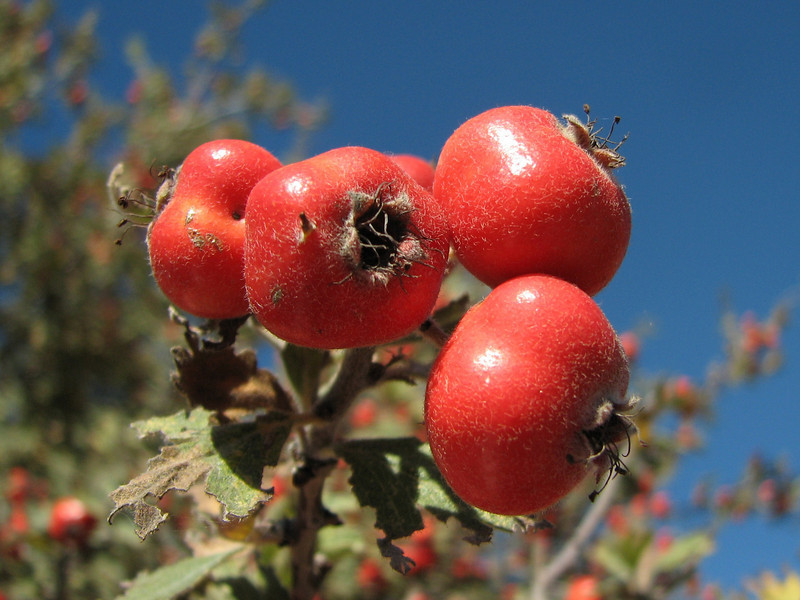 Crataegus spec. (east of Bozdağ, road up in the mountains, from a pass on foot to 1770m, Bozdağlar)