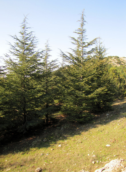 Cedrus libani (along road from Manisa on Spil Dağı, at about 1000m altitude)