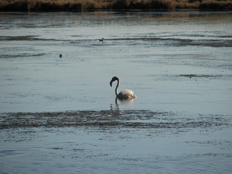 Phoenicopterus ruber, Greater Flamingo - juvenile 3-5 months (NL: Flamingo)(West of Turburgazi, southern coast of Dilek Peninsula)
