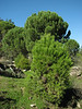 Pinus pinea in its juvenile stage (North of Milas)