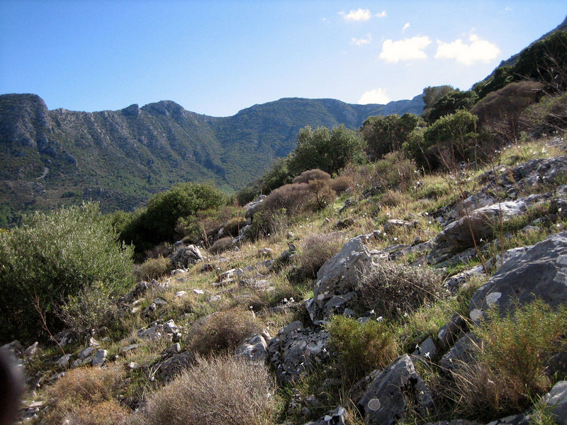 habitat of Narcissus serotinus (just west of the Datça junction on the road to Knidos, on limestone)