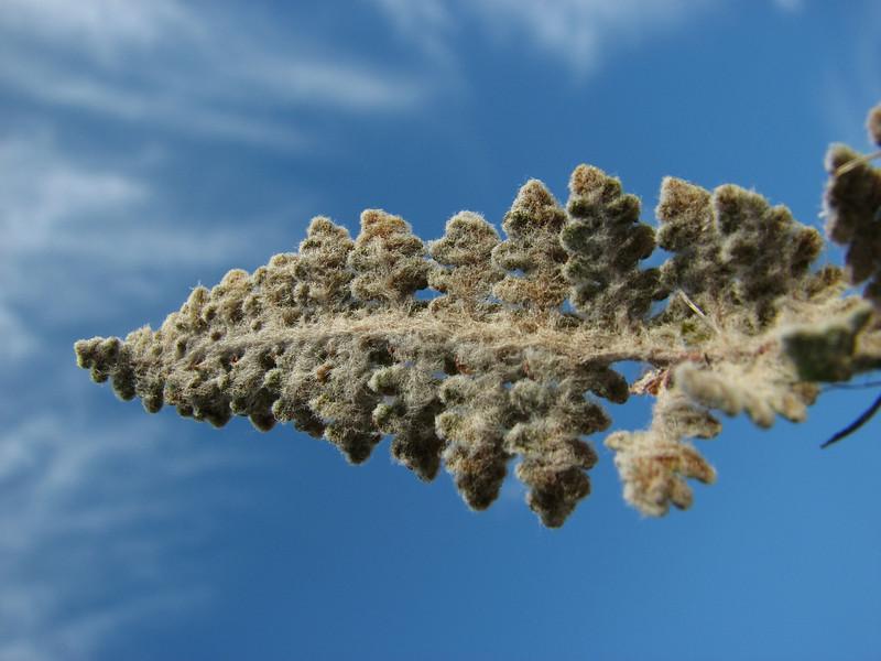 Cheilanthes catanensis (A few km past junction to Bozborun on the Marmaris - Datça road, 85m altitude on serpentine)