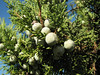 fruit of Juniperus excelsa (along road from Manisa on Spil Dağı, about 1000m altitude)