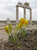Sternbergia lutea (cultivated) at Hierapolis (Pamukkale)