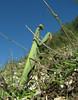 Mantis religiosa, Praying mantis (NL: Europese bidsprinkhaan)(North of Milas)