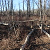 Forest damage from beavers....